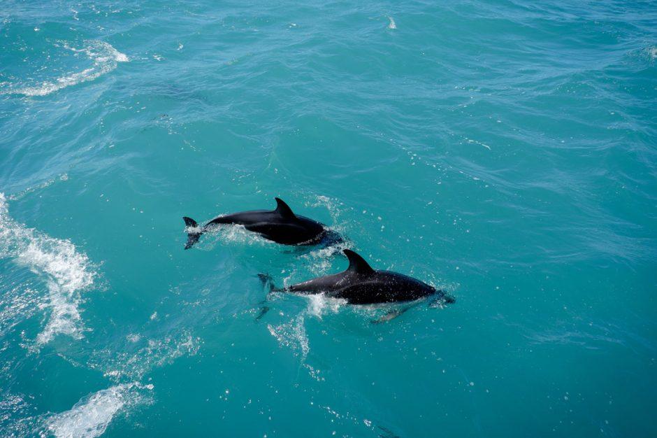dolphin encounter during the Kaikoura whale watching tour