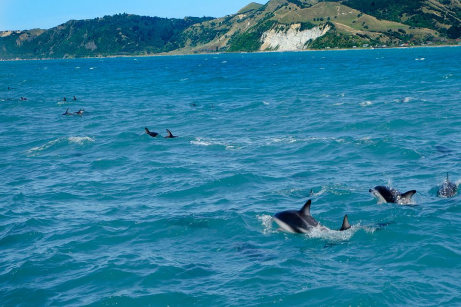 school of dusky dolphins during the Kaikoura whale watching tour