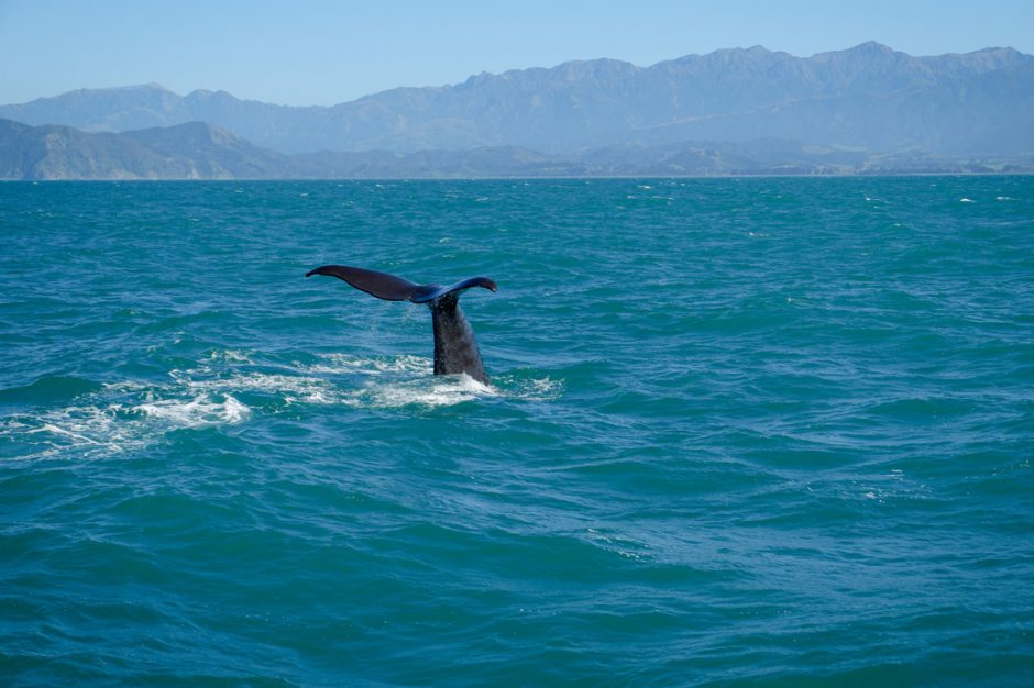 best places for whale watching in New Zealand