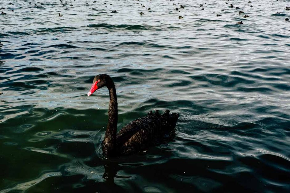 single black swan in Lake Rotorua with dozens of ducks bobbing in the water around it