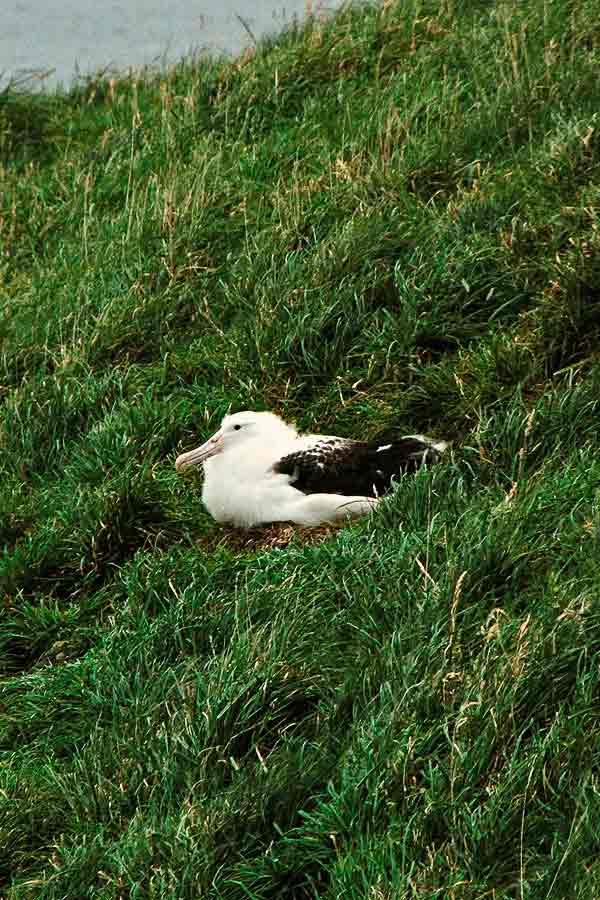 Royal Albatross Colony on Otago Peninsula near Dunedin, New Zealand