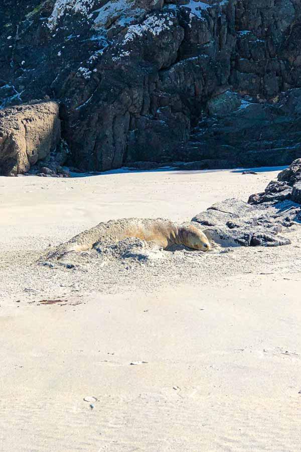 sleeping sea lion on Allens Beach on Otago Peninsula near Dunedin, New Zealand