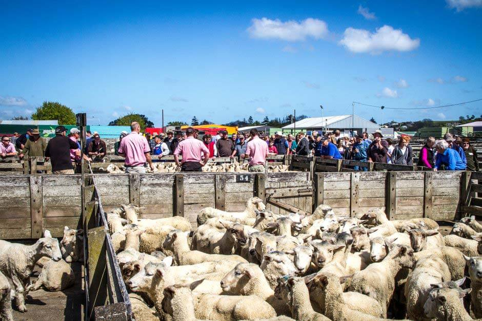 visitors looking at the auctioneers and sheep at Saleyards Feilding