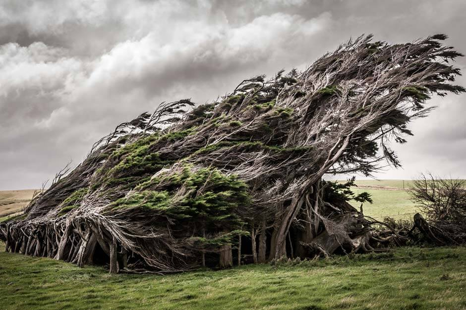 group of bent trees at Slope Point, New Zealand, standing in a tight group and growing completely towards one side because of the wind